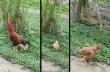 Μια κότα το παίζει νεκρή για να αποφύγει τον κόκορα