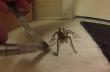 Αράχνη δέχεται βοήθεια από άνθρωπο
