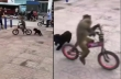 Σκύλος κυνηγά μια μαϊμού πάνω σε ποδήλατο