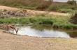 Γαζέλα ξεφεύγει από λιοντάρι