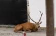 Ελάφι κατέφυγε σε εργοτάξιο για να σωθεί από κυνηγούς