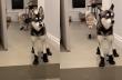 Το αστείο περπάτημα δύο σκύλων με παπούτσια