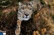 Λεοπάρδαλη του χιονιού συναντά μια GoPro