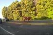 Περιπλανώμενη αγελάδα προκαλεί μποτιλιάρισμα