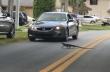 Ιγκουάνα με αστραπιαία αντανακλαστικά αποφεύγει ένα αυτοκίνητο