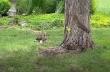 Γεράκι παίζει με έναν σκίουρο