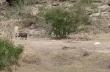 Λεοπάρδαλη επιχειρεί να αρπάξει ένα φακόχοιρο