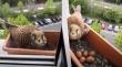 Γερακίνα φτιάχνει φωλιά σε μια γλάστρα