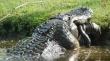 Γιγαντιαίος αλιγάτορας τρώει έναν μικρό αλιγάτορα